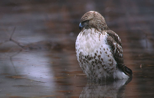evening hawk analysis